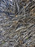 Dry plants texture. Reed stalks floating on water Stock Image
