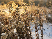 Dry Plants In Winter royalty free stock photography