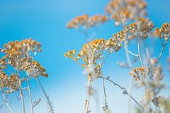 Dry plants with yellow flowers. Grow in the field Royalty Free Stock Photography