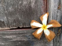 Dry plumeria flower on wood wall Stock Images