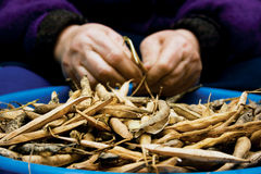 Dry pods of haricot beans stock photography