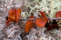 Dry Polar Birch macro on moss Royalty Free Stock Photography