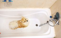 Dry Pomeranian dog in the bathroom. Spitz dog waiting to be washed stock images