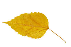 Dry Poplar leaf Royalty Free Stock Image