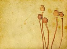 Dry poppies Royalty Free Stock Image