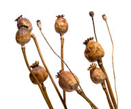 Dry poppies. Dry cultivated a wild poppy heads on white background Stock Photos