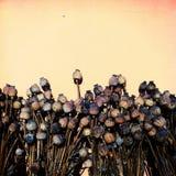 Dry poppies stock image