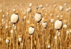 Dry poppy field Royalty Free Stock Image