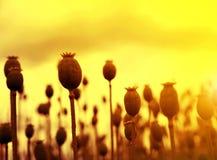 Dry poppy field before harvest Royalty Free Stock Photos