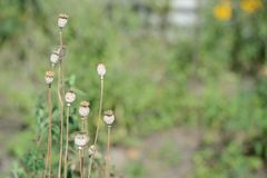 Dry poppy heads in the garden Royalty Free Stock Image