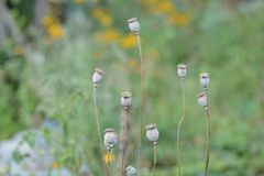 Dry poppy heads in the garden Royalty Free Stock Images