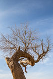 Dry Populus euphratica under blue sky Royalty Free Stock Photo