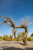 Dry Populus euphratica under blue sky stock photography