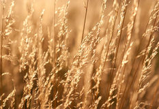 Dry prairie grass. In the sunlight Stock Photography