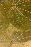 Dry pressed leaves background Royalty Free Stock Image