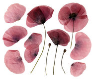 Dry, pressed poppy flowers Royalty Free Stock Photography