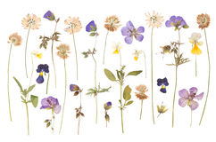 Dry pressed wild flowers isolated on white. Background vector illustration