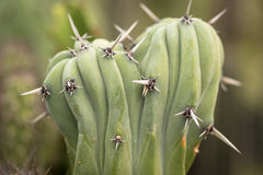 Dry prickles cactus closeup Stock Photography