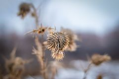 Dry prickly herb burdock in winter royalty free stock images