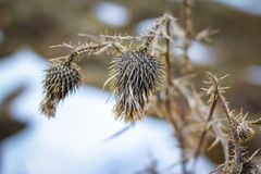 Dry prickly herb burdock in winter royalty free stock photography