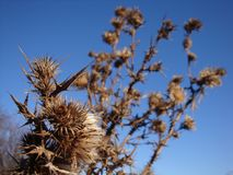 A dry and prickly thorn bush on a dry field royalty free stock images