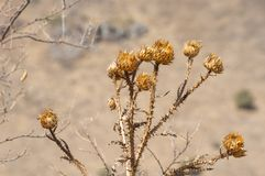 Dry prickly plant, thistle. stock images