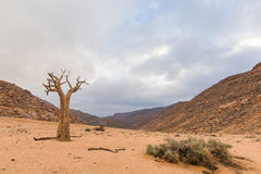Dry Quiver Tree Royalty Free Stock Photography