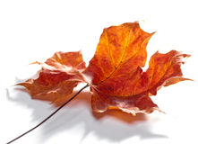 The dry red autumn fallen leaf of a tree.Close up on a white background Stock Image