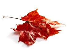 The dry red autumn fallen leaf of a tree Royalty Free Stock Photos