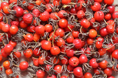 Dry red berries of dogrose Stock Images