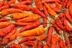 Dry red chili peppers Stock Images