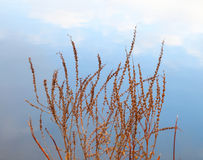 Dry red coastal grass over blue shining water Stock Photos
