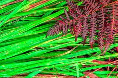 Dry red Fern plant on green wet fresh grass Stock Image
