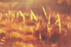 Dry Red Grass Field Meadow Royalty Free Stock Photos