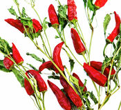 Dry red hot chilly peppers backgrounds Royalty Free Stock Photography