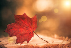 Dry red leaf closup Royalty Free Stock Photography