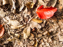Dry red leaf on floor in the garden Royalty Free Stock Photos