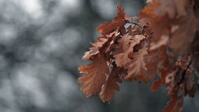 Dry red leaves close up footage with gray tones background. Dry red leaves close up footage with gray tones bokeh background stock video footage