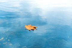 Dry red maple leaf on blue water Stock Image
