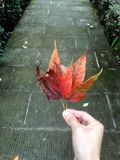 Red maple leaves in hand. Dry red maple leaves in hand, stone mossy road background royalty free stock photography