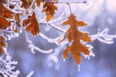 Dry red oak leaves covered with ice in winter. Melting ice, sparkling drops, a beautiful view of winter nature Stock Images