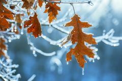 Dry red oak leaves covered with ice in winter. Melting ice, sparkling drops, a beautiful view of winter nature Royalty Free Stock Photography