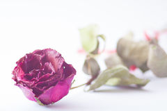Dry red pink rose on white background. Dry red pink rose and white background Stock Images