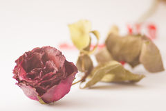 Dry red pink rose on white background. Dry red pink rose and white background Stock Photography