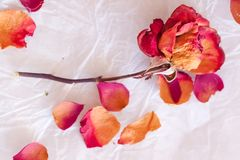 Dry red rose Royalty Free Stock Photo