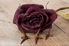 Dry red rose Stock Image