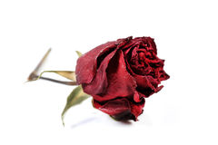 Dry red rose Stock Photos
