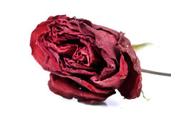 Dry red rose Stock Images