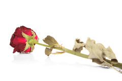 Dry red rose isolated Royalty Free Stock Photos