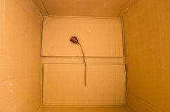 Dry red rose lying in a box Stock Photo